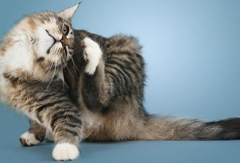 welke soorten katten zijn er