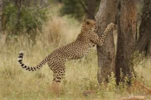 Krabben Cheetah
