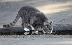 Kat drinkt