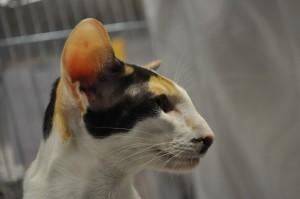 Dixi Dorycats van Cattery Miloh-Fo